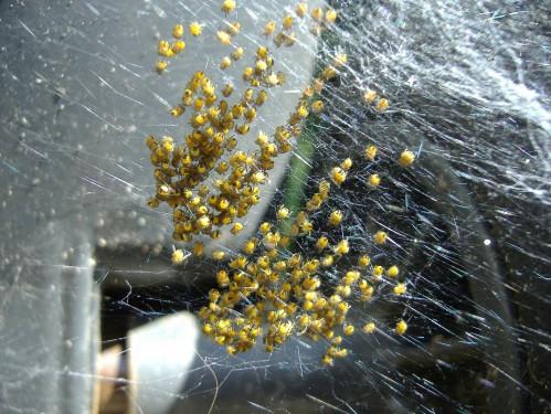 Araneus Diadematus Baby European Garden Spiders 499x375