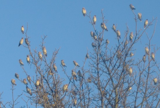 Strange Flock Of Bird In UK Small 550x371