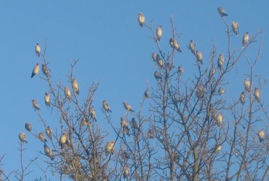Strange Flock Of Bird In UK Small 550x371