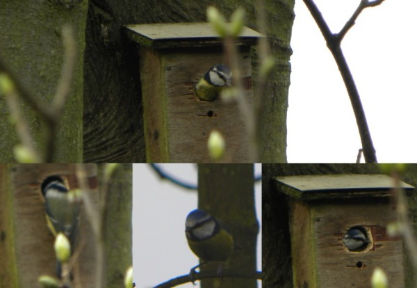 Blue Tits In Norwich Nestbox 600x414